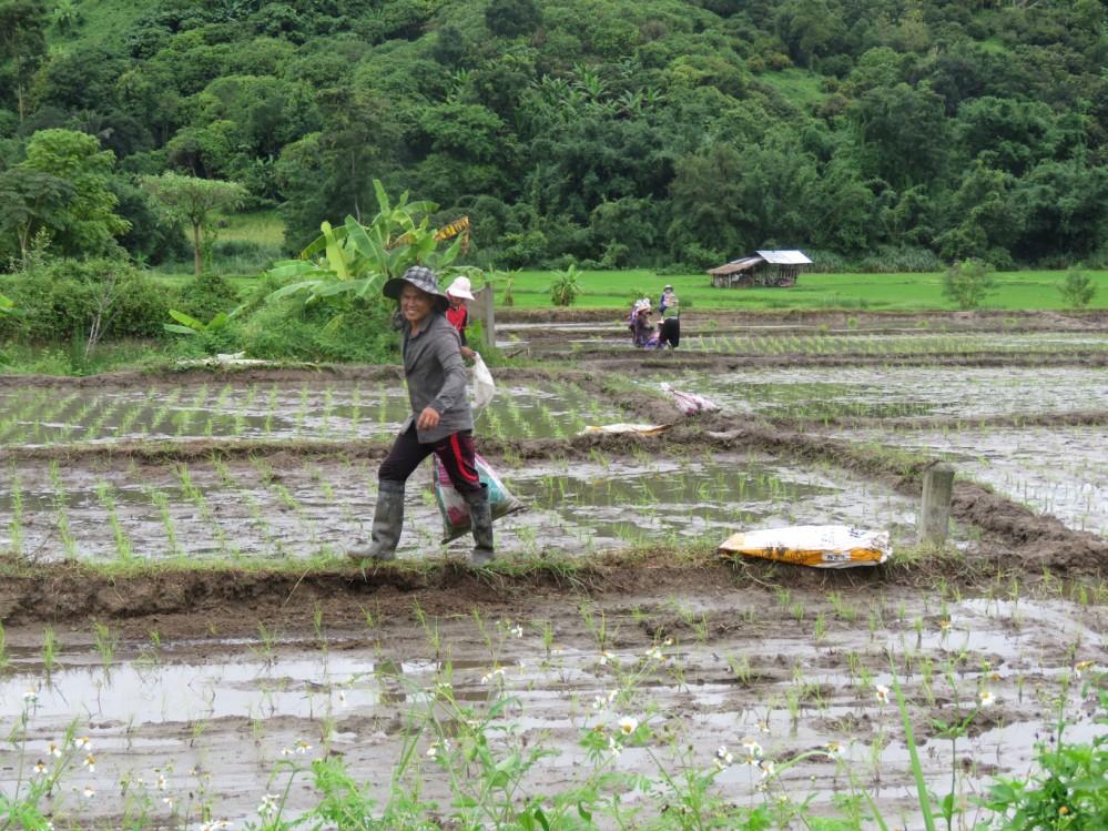שדה אורז בתאילנד