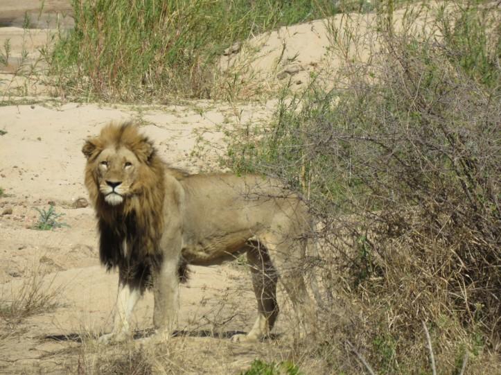 אריה עם רעמה