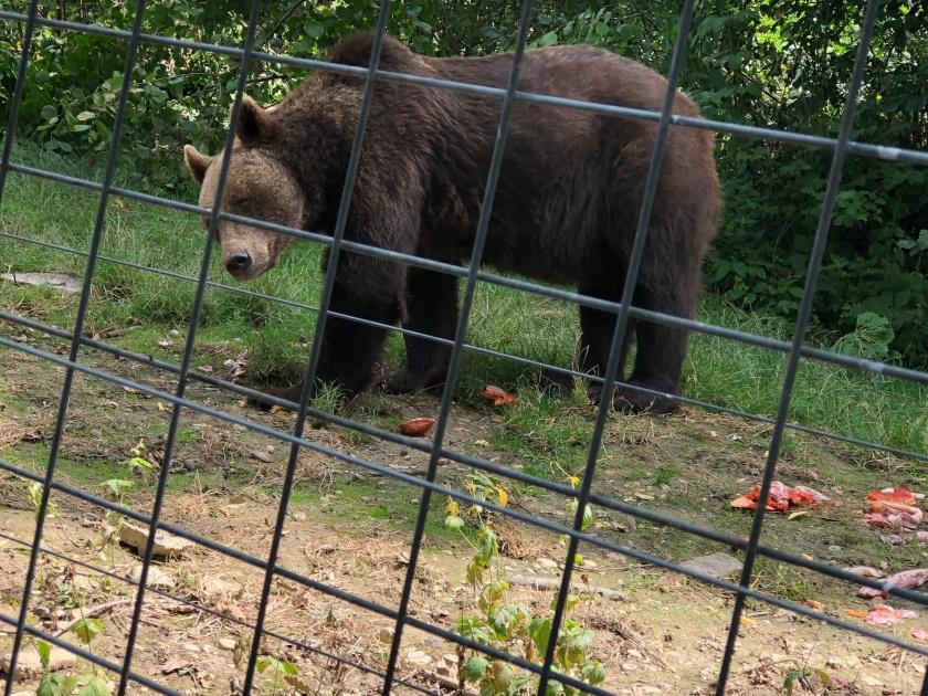 דוב כלוא