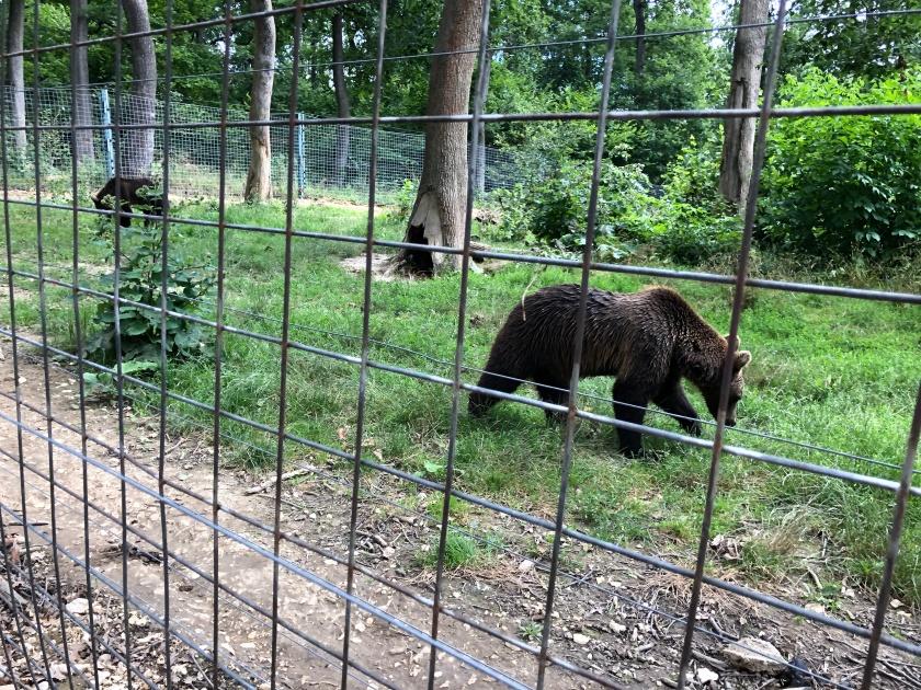 דובים בזרנשטי